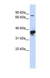 NBP1-59292 - LONRF2
