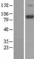 NBL1-12639 - LONRF3 Lysate