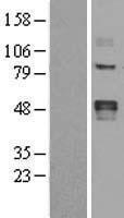 NBL1-12640 - LOX Lysate