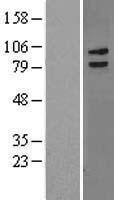 NBL1-12660 - LRCH3 Lysate