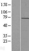 NBL1-12661 - LRCH4 Lysate