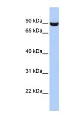 NBP1-69704 - LRFN5