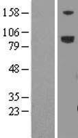 NBL1-12664 - LRFN5 Lysate