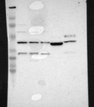 NBP1-82822 - LRG1