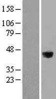 NBL1-12665 - LRG1 Lysate