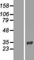 NBL1-12692 - LRP15 Lysate