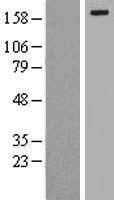 NBL1-12672 - LRP6 Lysate