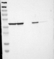 NBP1-89334 - LRPAP1 / A2MRAP
