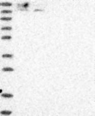 NBP1-83349 - LRPPRC / LRP130