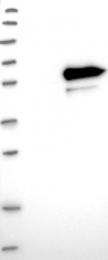 NBP1-81557 - LRRC14