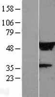 NBL1-12675 - LRRC14 Lysate