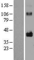 NBL1-12676 - LRRC17 Lysate