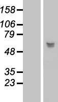NBL1-12677 - LRRC17 Lysate