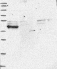 NBP1-85853 - LRRC2