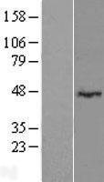 NBL1-12679 - LRRC2 Lysate