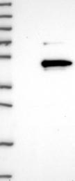 NBP1-88962 - LRRC23