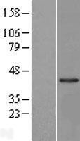 NBL1-12681 - LRRC23 Lysate
