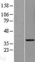 NBL1-12683 - LRRC28 Lysate