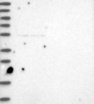 NBP1-81146 - LRRC34