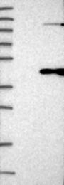 NBP1-81199 - LRRC39