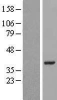 NBL1-12691 - LRRC39 Lysate