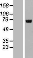 NBL1-12693 - LRRC40 Lysate