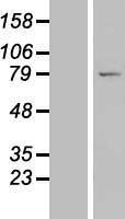 NBL1-12698 - LRRC49 Lysate