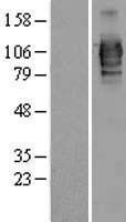 NBL1-12700 - LRRC50 Lysate