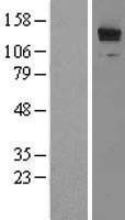 NBL1-12709 - LRRFIP1 Lysate