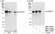 NBP1-71835 - LRRFIP1