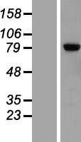 NBL1-12712 - LRRN2 Lysate