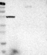 NBP1-88292 - LRRN4