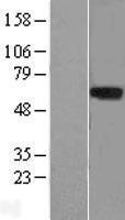 NBL1-12714 - LRRTM1 Lysate