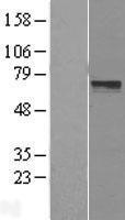 NBL1-12715 - LRRTM3 Lysate