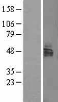 NBL1-12718 - LSAMP Lysate