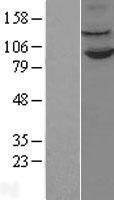 NBL1-07573 - LSD1 Lysate