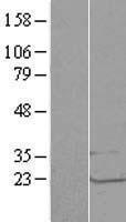 NBL1-12720 - LSM1 Lysate