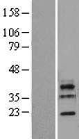 NBL1-12722 - LSM11 Lysate