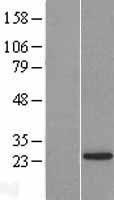 NBL1-12723 - LSM12 Lysate
