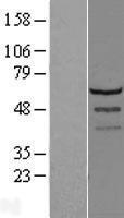NBL1-12724 - LSM14A Lysate