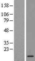 NBL1-12725 - LSM2 Lysate