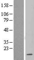 NBL1-12726 - LSM3 Lysate