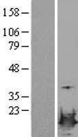 NBL1-12727 - LSM4 Lysate