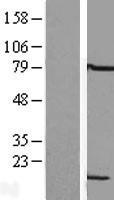 NBL1-12729 - LSM6 Lysate