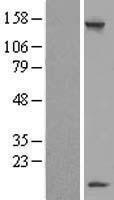 NBL1-12730 - LSM7 Lysate