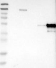 NBP1-86852 - LSP1 / WP34