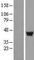 NBL1-12732 - LSP1 Lysate