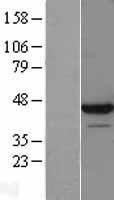 NBL1-12743 - LUC7L Lysate