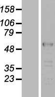 NBL1-12744 - LUC7L2 Lysate