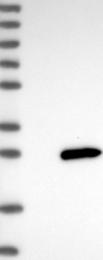 NBP1-80794 - LYG1